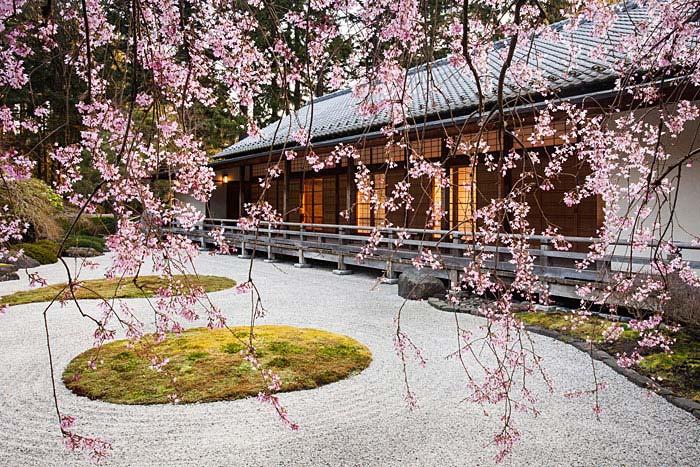 sakura cherry blossom tree dry garden
